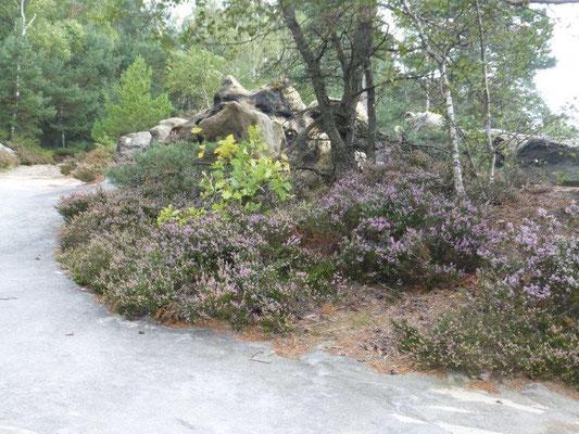 Oben auf den trockenen, sandigen Felsriffen prägen Birken, Kiefern, Heidelbeeren und Erika das Bild