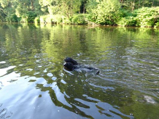 Berner-Wettschwimmen in der Zschopau