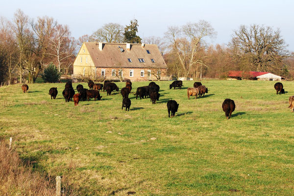 Die Rinderherde hinter dem Herrenhaus