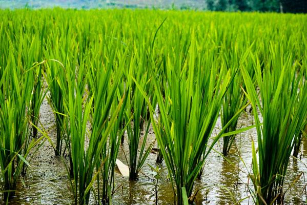 Kleine Reispfalnzen