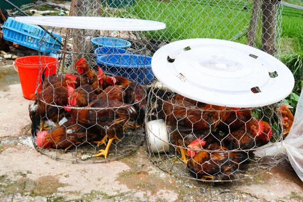 Hühner zum Verkauf. Das Federvieh wird in Metallkörbe gequetscht und an der Straße verkauft.