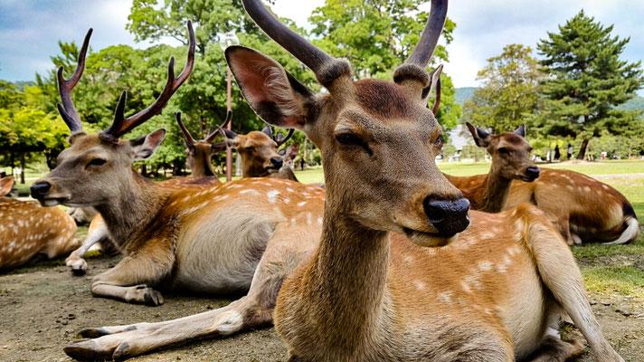 In Nara kann man mit den Hirschen und Rehen kuscheln. Wenn man Hirschkekse hat, haben sie einen besonders lieb.