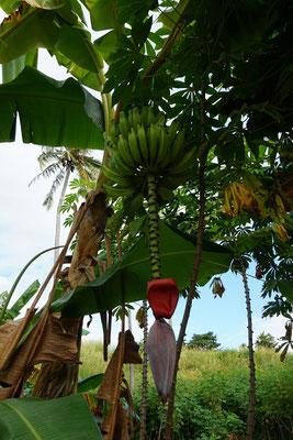 ...mit Bananenbäumen