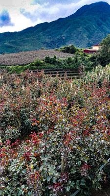 Eigentlich sind wir wegen der Reisterassen hier, die Rosen sind aber auch ganz nett.