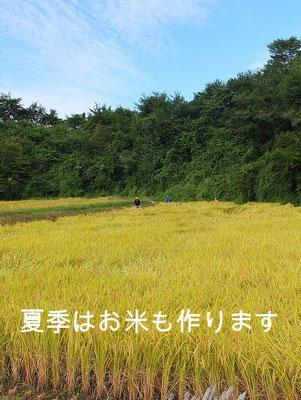 夏季の稲作風景