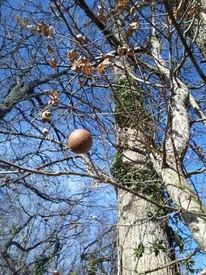 gale du chêne : les fées jouent aux billes.