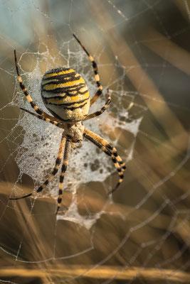 Wespenspinne mit Morgentau