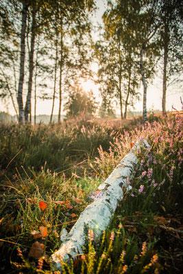 Heideblüte in der Teverener Heide
