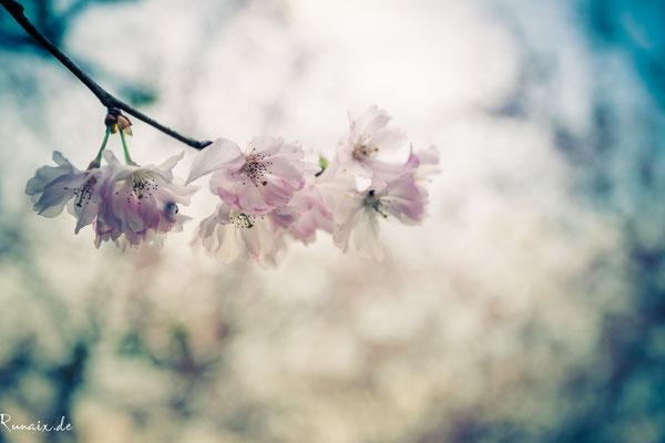 Wahnsinns Kirchblüte in Kohlscheid auf der Haus-Heyden-Straße