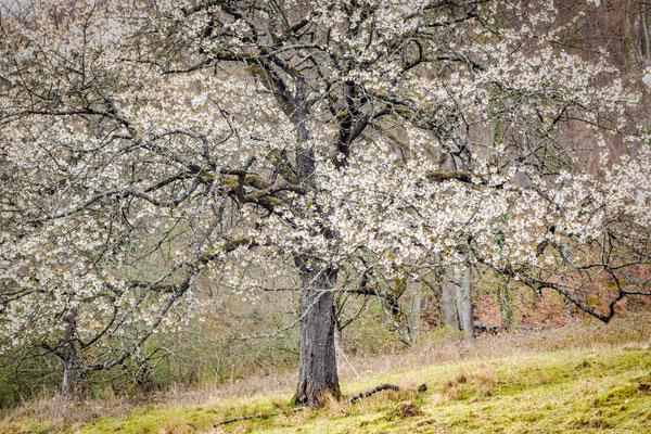 Der alte Baum blüht jedes Jahr
