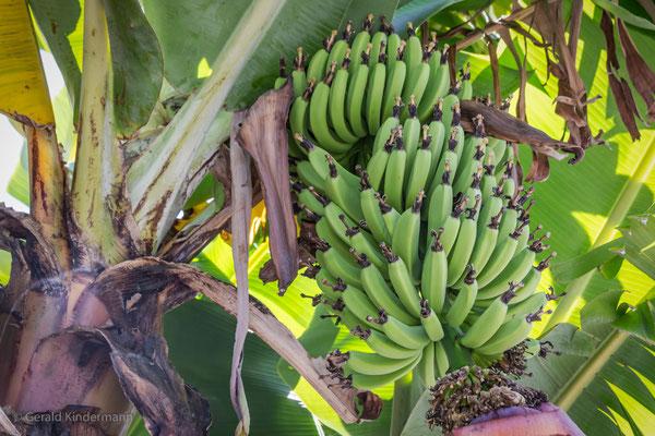 ...auch Bananen wachsen auf den Azoren!