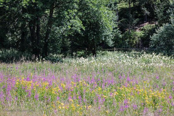 Echtes Mädesüss und Wald-Weidenröschen