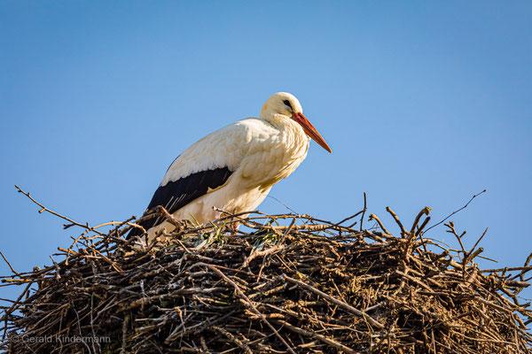 ...dieser Storch ist erst gar nicht weggeflogen