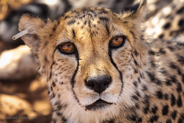 "Gepard im ""Cheetah Conservation Fund"" in Namibia"
