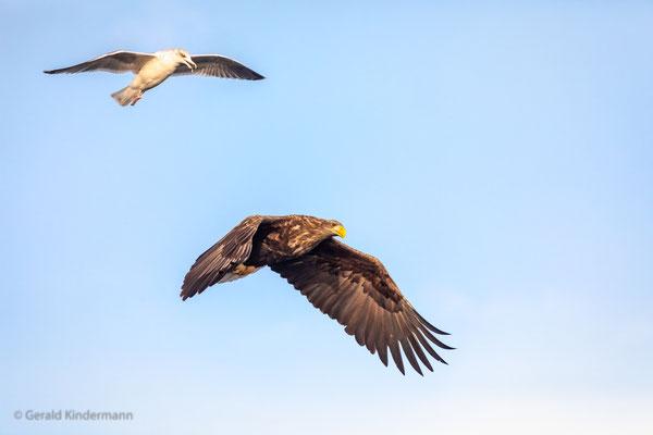 Seeadler, angegriffen von einer Möwe