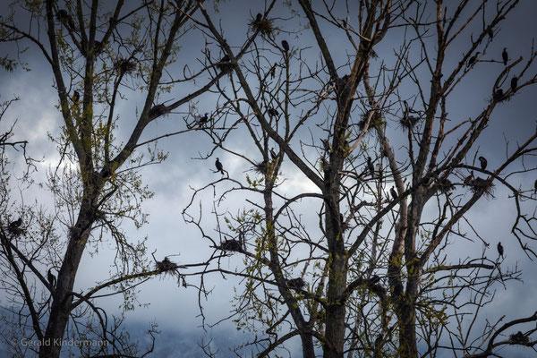 Schlafbaum der Kormorane