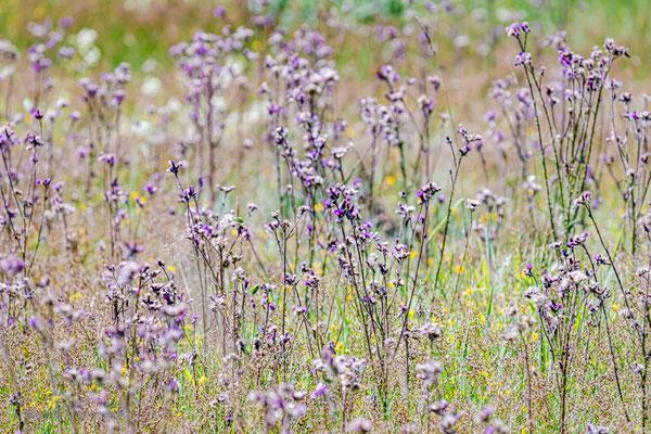 Weg-Distel (Carduus acanthoides)