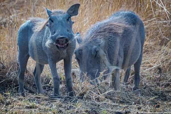 Warzenschwein (Phacochoerus africanus), Xakanaxa, Okavango Delta, Botswana