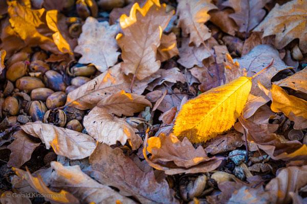 Leuchtender Herbst - Kirschblatt