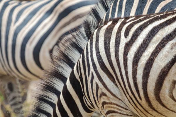 Steppenzebra (Equus quagga), Moremi Game Reserve, Okavango Delta, Botswana