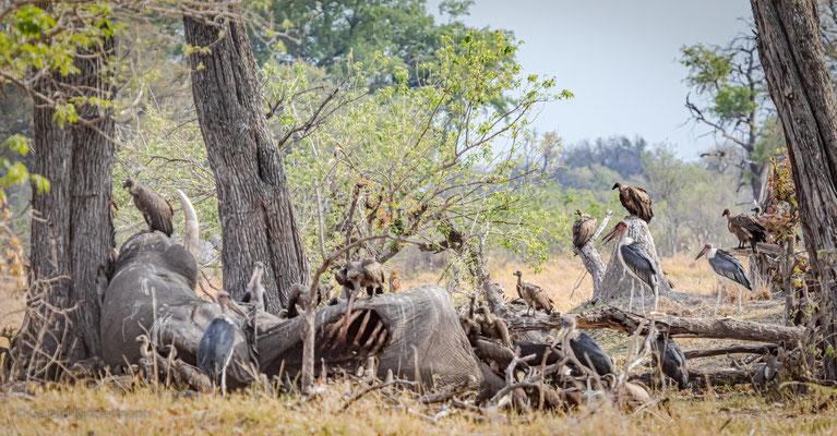 Elefantenkadaver mit Geiern und Marabus, Xakanaxa, Okavango Delta, Botswana