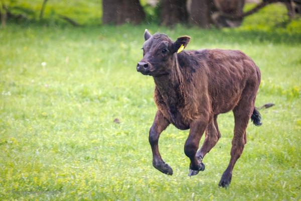 Rinder als Landschaftspfleger im Naturreservat