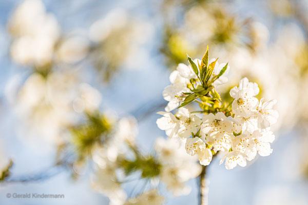 Viele Blüten sind leider dieses Jahr erfroren