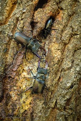 Hirschkäfer (Lucanus cervus) mit Weibchen in der Baumspalte und Konkurrent