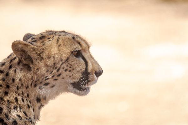 "Gepard im ""Cheetah Conservation Fund"" in Namibia"