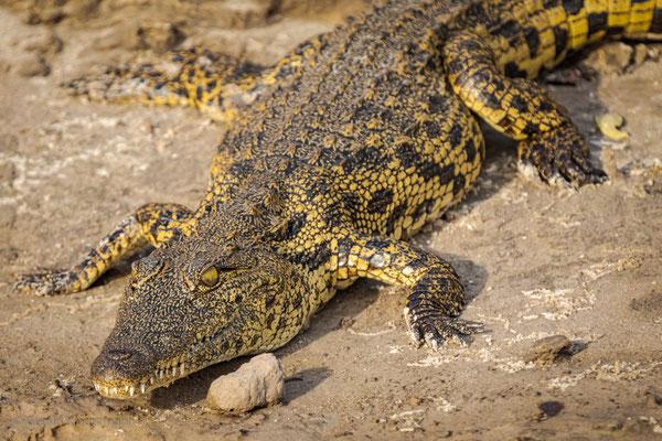 Nilkrokodil (Crocodylus niloticus africanus) am Cubango Fluss