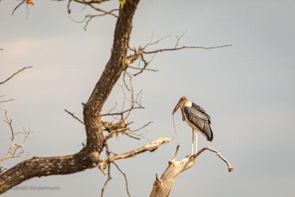 Marabu (Leptoptilos crumeniferus), Xakanaxa, Okavango Delta, Botswana