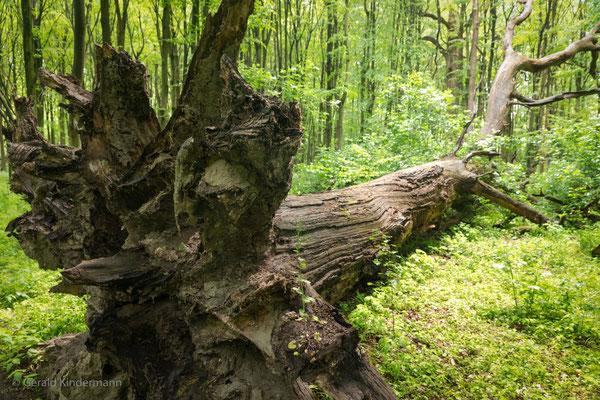...der Baum liegt schon einige Jahre im Wald