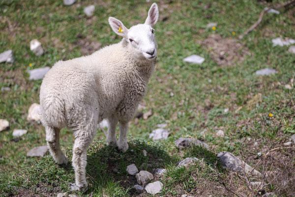 ...ein Paradies für Schafe