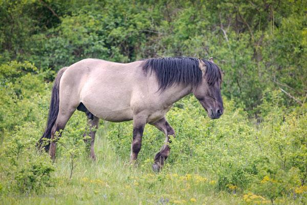 Konik-Pferd - auch ein Landschaftspfleger