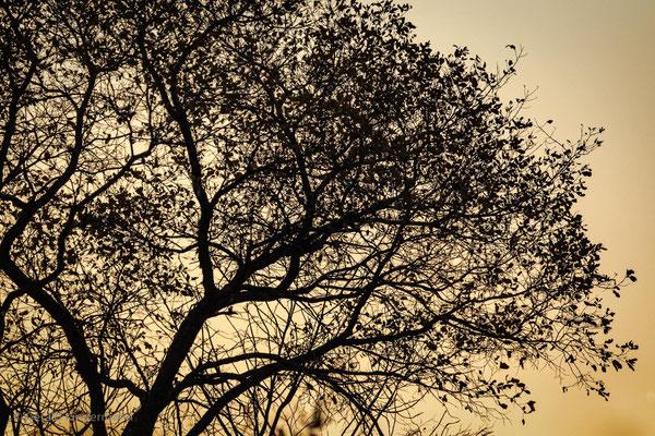 Baum-Silhouette
