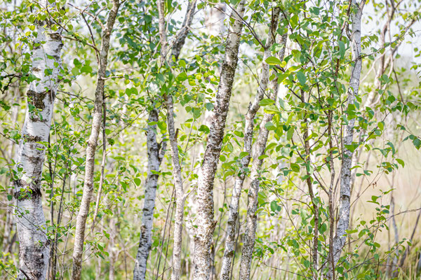 Birken im Ibmer Moor