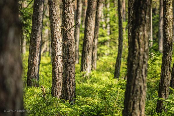 Moorwald im Schönramer Filz