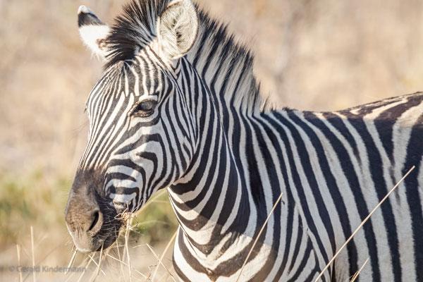 Steppenzebra (Equus quagga)