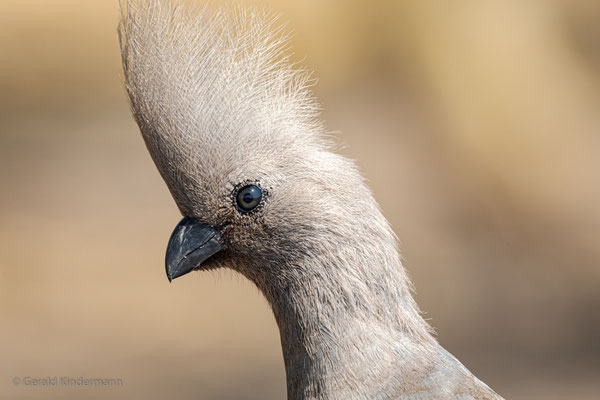 Grauer Lärmvogel ( Corythaixoides concolor), Savuti, Botswana