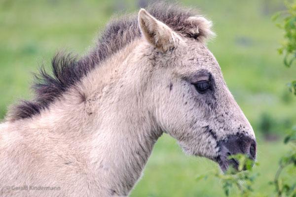 Fohlen eines Konik-Pferdes