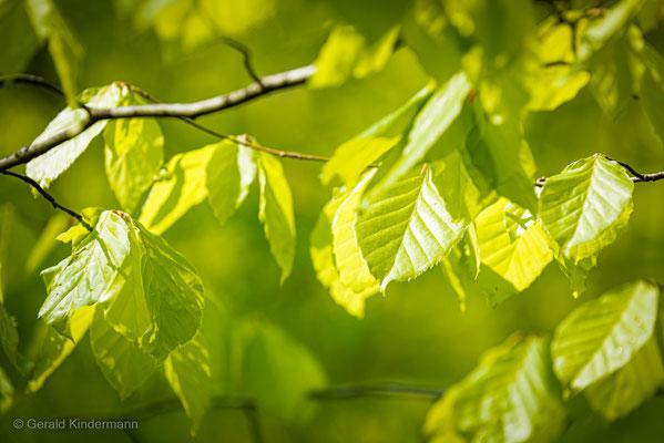 Erste Blätter
