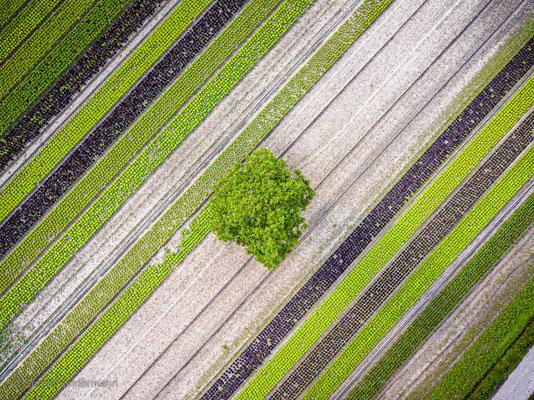 Einsamer Baum in den Gemüsefeldern
