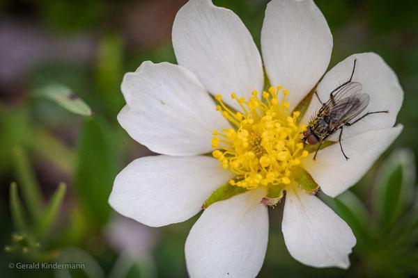 Fliege auf einblütigem Hornkraut
