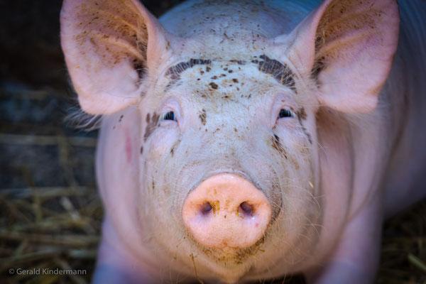 Schweinereien