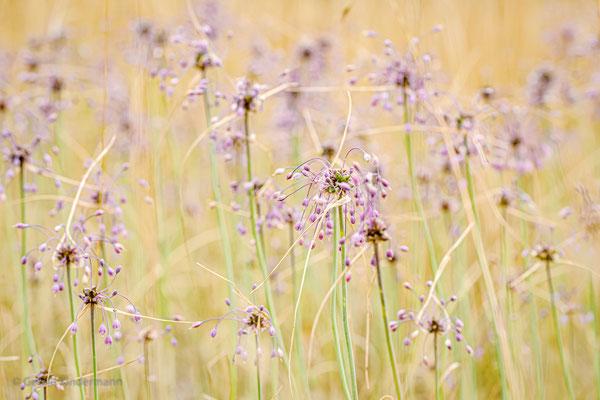 Kiel-Lauch (Allium carinatum)