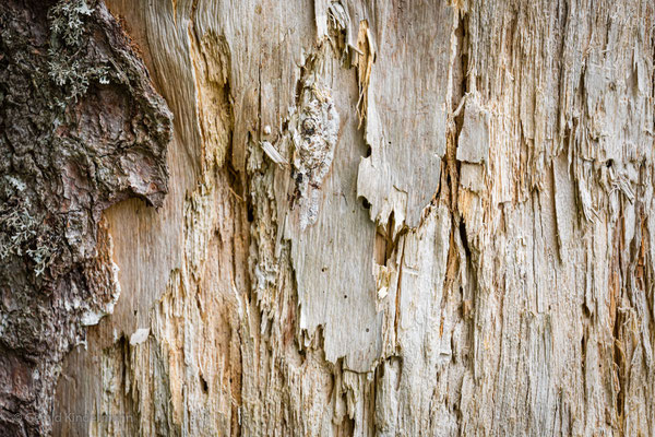 Holz einer Weidbuche