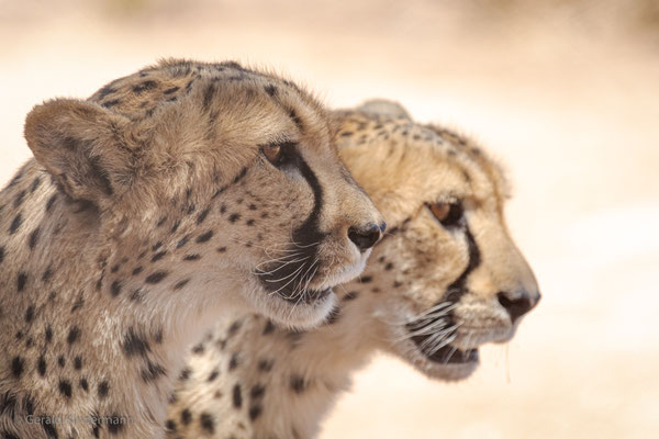 "Geparden im ""Cheetah Conservation Fund"" in Namibia"