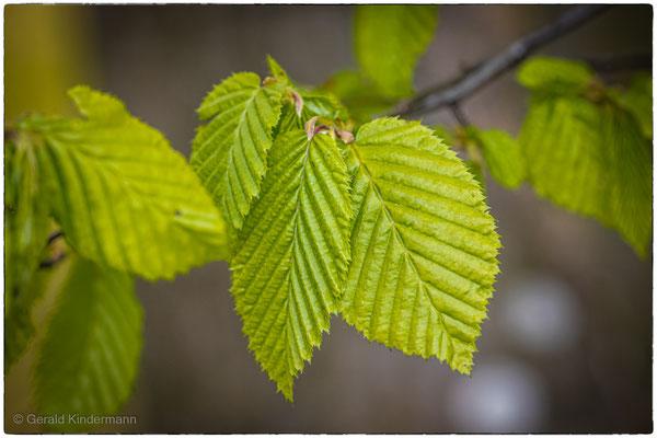 Zarte erste Blätter
