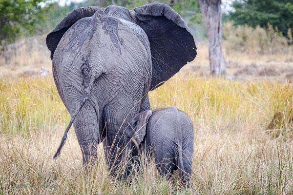 Afrikanischer Elefant (Loxodonta africana), Moremi Game Reserve, Okavango Delta, Botswana