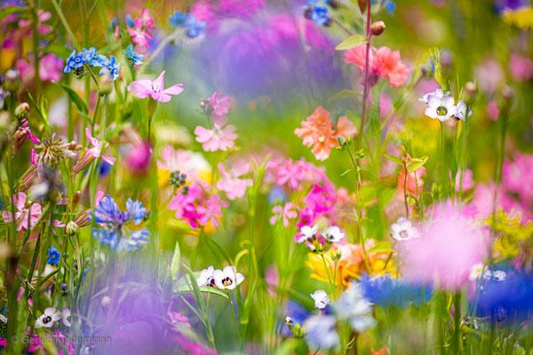 angesäte Wildblumenwiese im Markgräfler Land